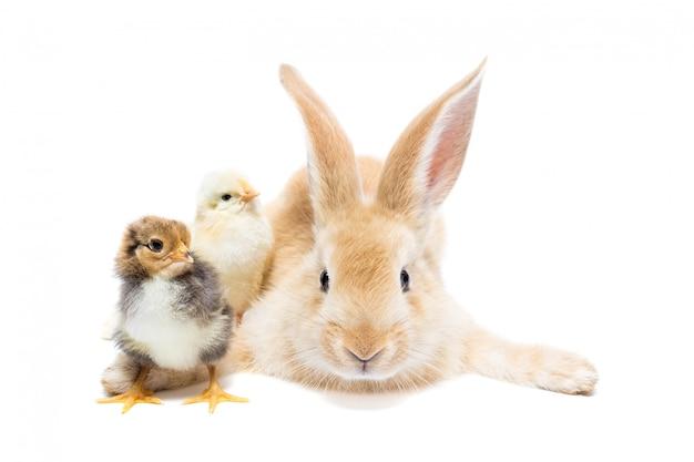 Conejo y pollo