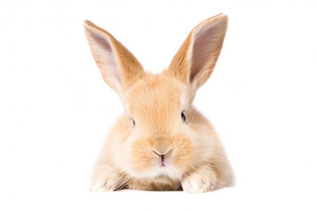 Conejo rojo esponjoso mira el cartel. aislado en el fondo blanco conejito de pascua