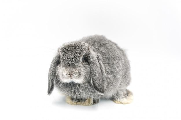 Conejo sobre fondo blanco, conejito mascota, holanda lop