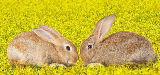 Conejos lindos de remolque enamorados