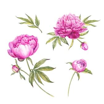 Conjunto de acuarela peonías rosas.