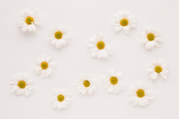 Conjunto de capullos de flor de la margarita