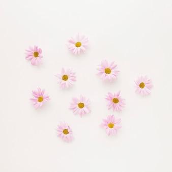 Conjunto de capullos de flor rosa margarita