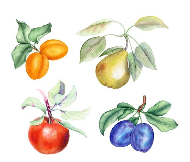 Conjunto de frutas: albaricoque, pera, manzana y ciruela ramas ilustración acuarela