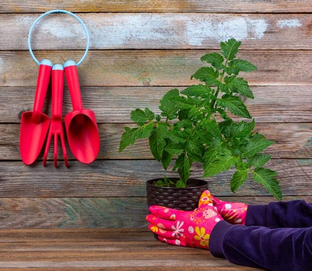 Conjunto de herramientas de jardín de plástico rojo, manos de mujer en guantes protectores rojos sosteniendo una maceta de plántulas de tomate