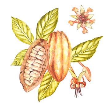 Conjunto de ilustración botánica. colección de frutas de cacao en acuarela mirando a los estantes plantas de cacao exóticas dibujadas a mano
