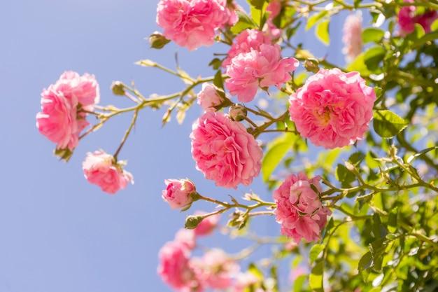 Conjunto de primer plano de rosas rosadas al aire libre
