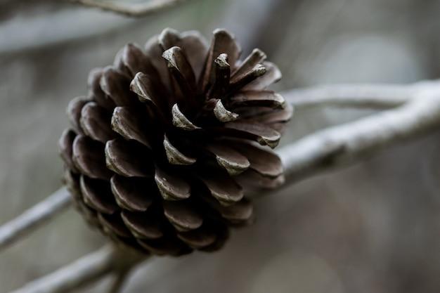 Cono de pino carrasco, abierto y habiendo soltado todas sus semillas, en malta