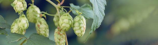 Conos de lúpulo en una canasta para hacer cerveza fresca natural concepto de elaboración de la cerveza