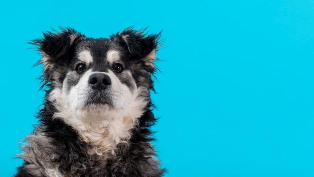 Copia-espacio perro peludo sobre fondo azul.
