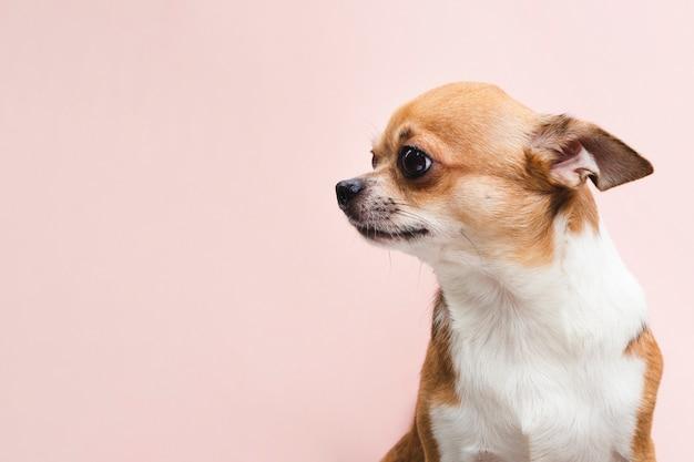 Copie el fondo del espacio con el retrato de un perro chihuahua