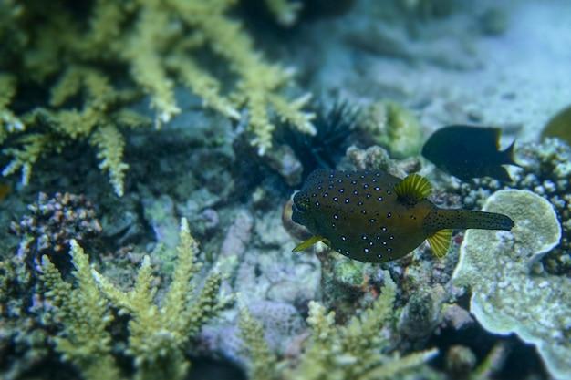 Coral de cuerno de ciervo bajo el mar en la isla cockburn de myanmar