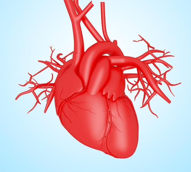 Corazón humano 3d