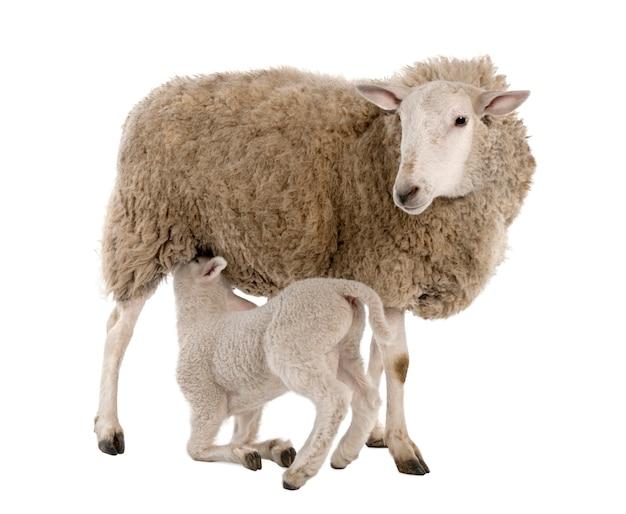 Cordero amamantando a su madre (una oveja)