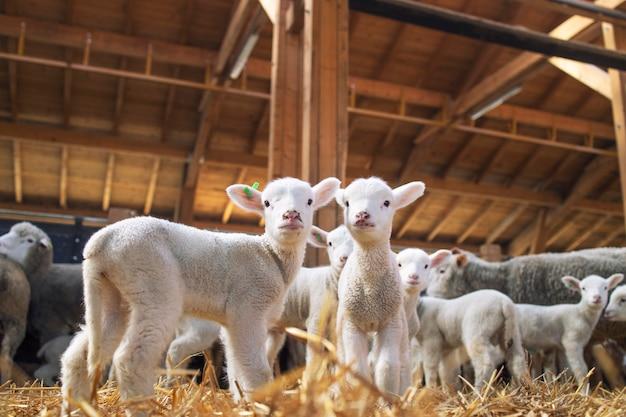 Corderos mirando al frente en el granero de madera