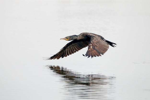 Cormorán indio phalacrocorax fuscicollis pájaro volando en los estanques