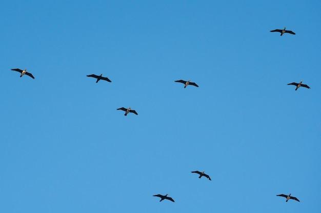 Cormoranes volando contra el cielo azul