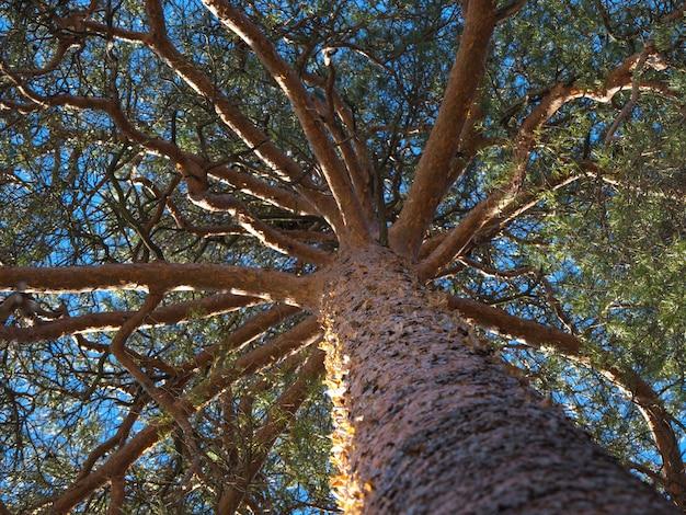 Corona de pino. la extensión de la corona de un viejo pino contra el cielo azul.