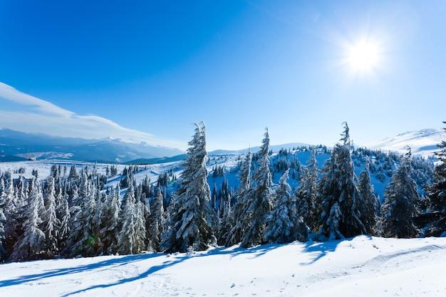 Coronas de árboles de piel cubiertos de nieve en el bosque de invierno en día de invierno