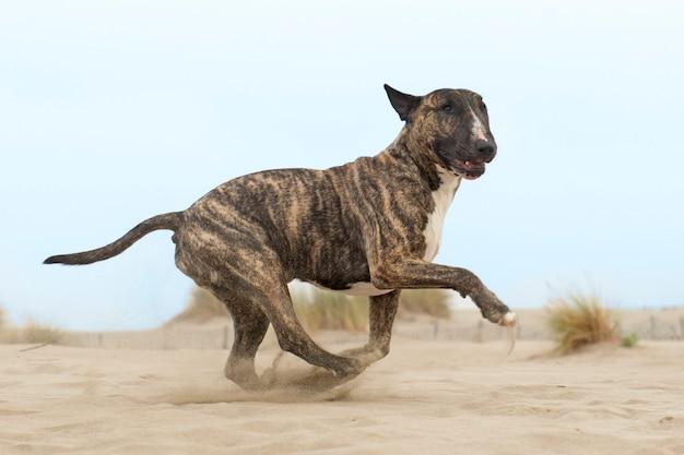 Corriendo bull terrier