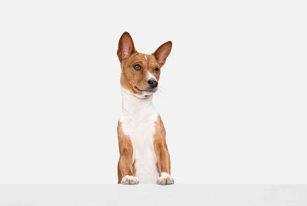 Corriendo. lindo perrito dulce de basenji lindo perro o mascota posando con bola aislada en la pared blanca. concepto de movimiento, amor de mascotas, vida animal. parece feliz, gracioso. copyspace para anuncio.