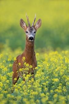Corzo de pie sobre un campo de violación florido con flores amarillas en verano