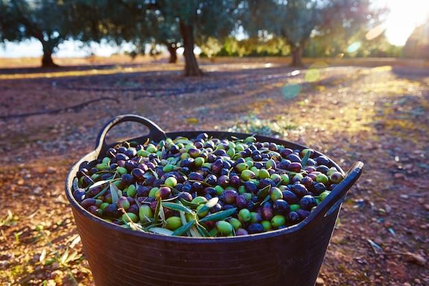 Cosecha de aceitunas recogiendo en la cesta del agricultor.