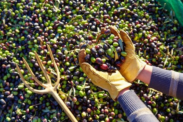 Cosecha de aceitunas recogiendo manos en el mediterráneo.