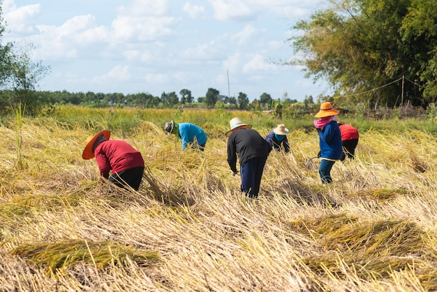 Cosecha del agricultor en la temporada de cosecha. granjero que corta el arroz en los campos, tailandia.