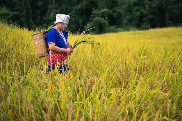 Cosecha de arroz de mujeres agricultoras en el norte de tailandia