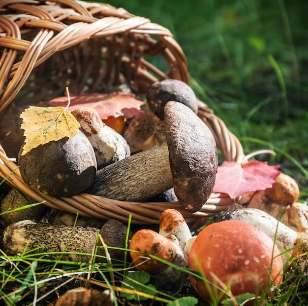 Cosecha boletus de gorra marrón en una cesta
