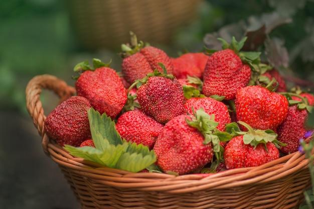 Cosecha de fresas en canasta