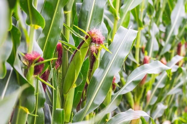 Cosecha de maíz en un campo agrícola durante la maduración