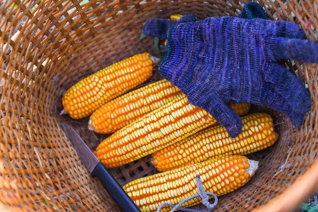Cosecha de maíz maduro del campo en la canasta, cosechando productos agrícolas asiáticos de maíz