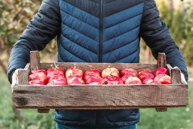 Cosecha manzanas rojas en una caja de madera en manos de hombres