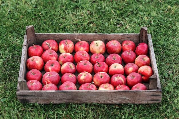 Cosecha de manzanas rojas en una canasta de madera sobre la hierba