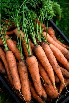 Cosecha de zanahorias. zanahoria fresca en caja negra.