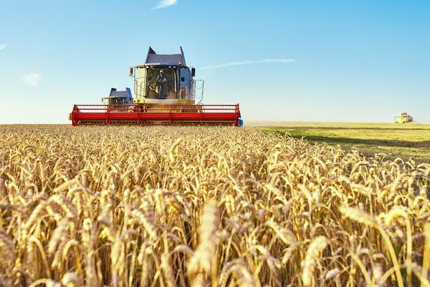 La cosechadora cosecha trigo maduro
