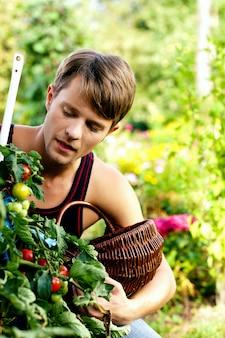 Cosechando tomates