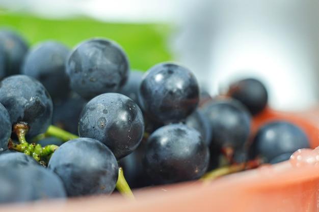 Cosechar uvas azules frescas isabella