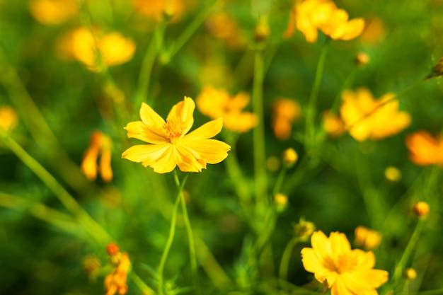 El cosmos amarillo del azufre florece en el jardín de la naturaleza.