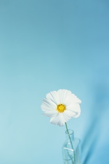 Cosmos de flor blanca sobre superficie azul