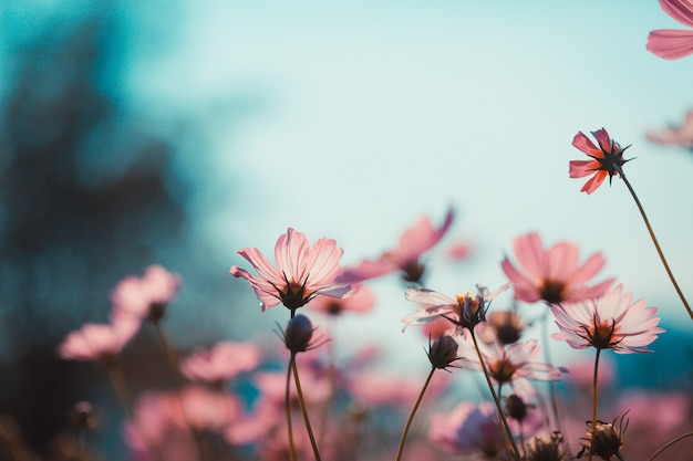 Cosmos flores hermosas en el jardín.