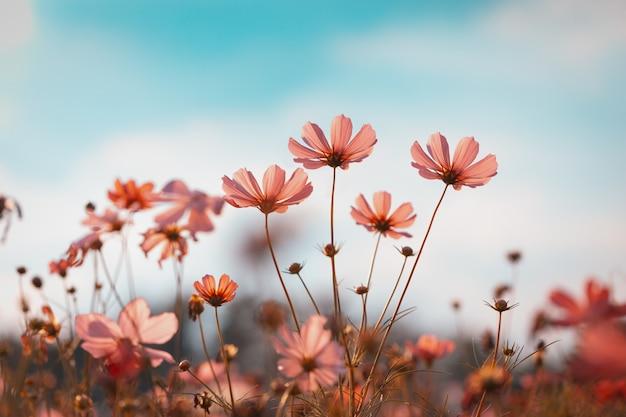 Cosmos flores hermosas