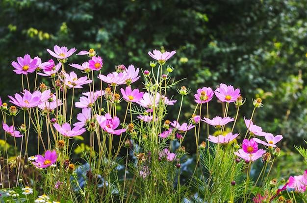 Cosmos de flores rosadas sobre fondo borroso. flores de verano_