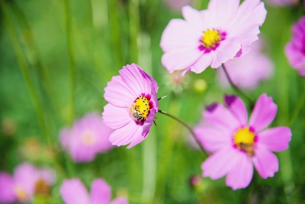 El cosmos púrpura de la primavera hermosa florece en fondo verde del jardín