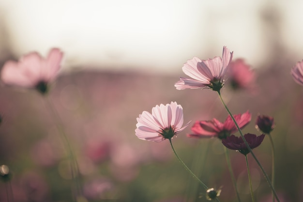 Cosmos rosa flores cerrar