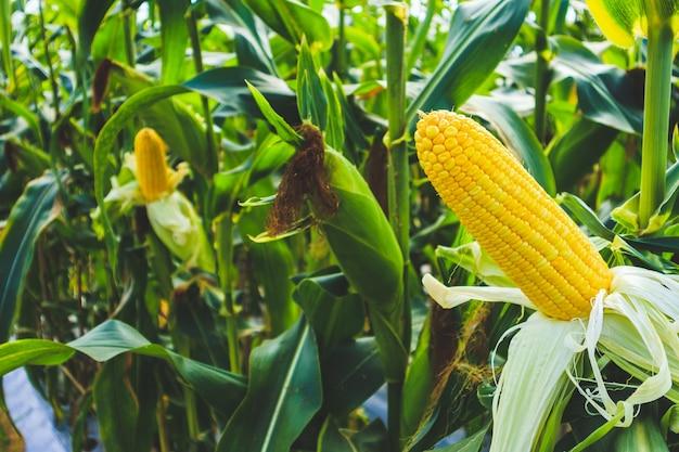 Crecimiento de mazorcas de maíz en el campo agrícola