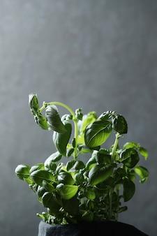 Crecimiento de plantas de albahaca verde