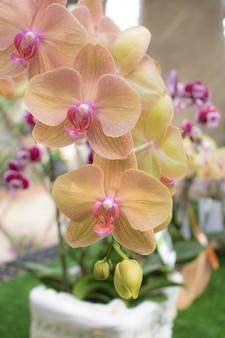 Crepúsculo de primer plano angel phalaenopsis o flor dendrobium orchid en el jardín tropical floral con espacio de copia